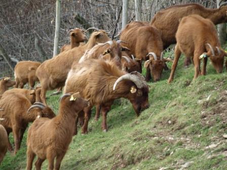 cabras pastando